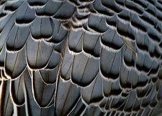 grey plumage