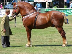 Suffolk punch at the Norfolk Show, Norwich, Norfolk, England.