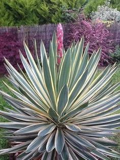 Front Garden: Yucca aloifolia 'Variegata' - spectacular in bloom, and out. Watch for the sharp spines - this is a plant that demands respect. Give it a full sun situation, lots of gravel in the soil, and stand back. Plants With Pink Flowers, Green Plants, Tropical Plants, Cacti And Succulents, Tropical Gardens, Yucca Plante, Outdoor Plants, Outdoor Gardens, Architectural Plants