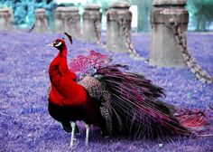 Red peacock...I REALLY want this bird on my farm!!!!