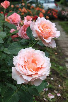 'East Park' | Hybrid Tea Rose. Harkness, 2010