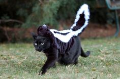 Cat in a skunk costume
