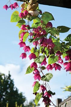 Fine Vine: Purple Bell Vine | Garden Design / hardy to zone 9