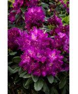 Huskymania Rhododendron (Rhododendron x 'Huskymania' (H-1) Raise the Roof® Series) - Monrovia - Huskymania Rhododendron (Rhododendron x 'Huskymania' (H-1) Raise the Roof® Series)**8-10 ft**