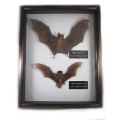Taxidermied Bat Animal Oddities Shadowbox Art 3D Wall Hanging ($110) ❤ liked on Polyvore featuring home, home decor, wall art, fillers, decor, details, witch и animal wall art