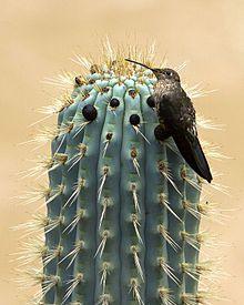 Giant_hummingbird_Patagonia_Gigas_on_cactus_in_Peru_by_Devon_Pike