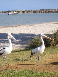 Pelicans at Kalbarri, Western Australia. It is fairly remote, however well worth the trip - fantastic scenery! Australia Capital, Western Australia, Australia Travel, Cool Countries, Countries Of The World, Honeymoon Destinations, Holiday Destinations, Nambung National Park, Travel Around The World