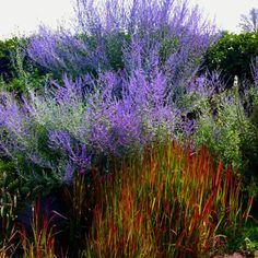 Russian Sage paired with Japanese Blood Grass - Toronto Botanical Gardens Russian Sage paired with Japanese Blood Grass - Toronto Botanical Gardens Swimming Pool Landscaping, Outdoor Landscaping, Landscaping Plants, Outdoor Plants, Planting Fruit Trees, Trees To Plant, Planting Flowers, Mediterranean Garden Design, Blue And Purple Flowers