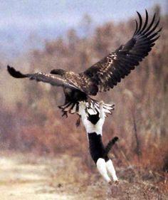 Funny Brave Eagle Hunter Cat