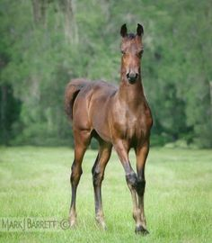 Morgan Horse foal stands and looks intently at us