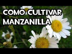 Como cultivar manzanilla - YouTube