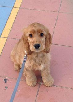 My golden Cocker spaniel puppy Nala