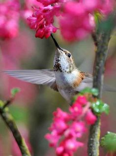 Gorgeous photo of a rufous hummingbird and red flowering currant in the Pacific Northwest Colorful Birds, Colorful Flowers, Beautiful Birds, Beautiful Pictures, Hummingbird Garden, Hummingbird Wings, Bird Quotes, All Gods Creatures, Little Birds