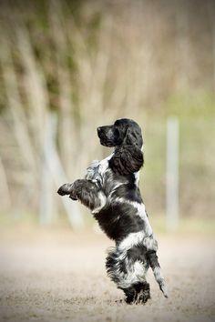 Welsh Springer Spaniel, English Cocker Spaniel Puppies, Blue Roan Cocker Spaniel, Cute Dogs Breeds, Dog Breeds, Hunter Dog, Hunter Jumper, Dog Poses, Cockerspaniel