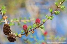 -BLEN flores de Bach- Larch - Bach Flower Essence