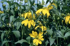 Rudbeckia laciniata 'Herbstsonne' - to grow at the back by the wall - tall flower