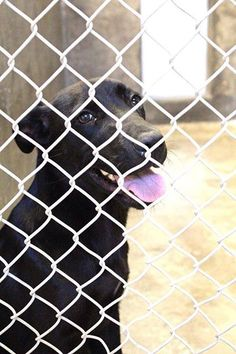 ~~EU DATE 07/10/14~~Beautiful black lab will DIE if not adopted before 7PM Thursday 07/10/14! HE is URGENT!!!! Lab male less than a year old  Kennel A9  Available NOW~~$51 to adopt  Located at Odessa, Texas Animal Control. 432-368-3527.