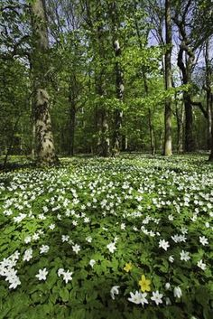 Vitsippor  - Beech forest filled with forest anemones (Anemone nemorosa) in spring.