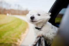 Oscar loves doing this - there's something about dogs loving the feel of wind in their hair.