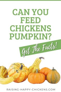 Are you wondering if chickens can eat pumpkins? Absolutely! It's one of their favourite foods. Pumpkins are inexpensive when in season, a really healthy treat, a great source of nutrients for chickens (and for humans!) and they can be easily stored for year-round use. Learn the best way to feed pumpkins to your brood. Chicken Treats, Chicken Feed, Chicken Recipes, Chicken Pumpkin, Chickens Backyard, Healthy Treats, Diy Food, Favorite Recipes, Canning