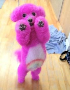 isn't this a cuteness cute poodle dog