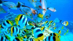 Double Saddle Butterflyfish and Hussars, Tahiti & French Polynesia