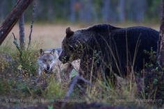 Photographing Brown Bears at the border of Finland and Russia. Eurasian Wolf, Animals Beautiful, Finland, Mammals, Panther, Nature Photography, Scenery, Beautiful Pictures, Wildlife