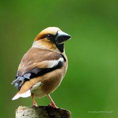 Hawfinch, Appelvink