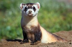The Black-footed Ferret and the Theory of Unintended Consequences ...With help from the government, farmers and ranchers in the late 1970s exterminated the black-footed ferret's favorite prey: the agricultural field–destroying prairie dog. The ferret faced extinction, and in an effort to revive the species, the U.S. Fish and Wildlife Service ran a captive breeding …