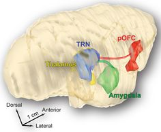n a rhesus monkey's brain, nerve cells send messages from the emotion-processing amygdala (green) to a region that doles out attention, the thalamic reticular nucleus (blue). Fibers from a region called the posterior orbitofrontal cortex (red), which may be involved with purposeful assessment of emotional cues, also converge on the reticular nucleus.