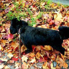 🐶 Today's walk . だんだん 枯葉の絨毯で ずっと遊んでいた Russelくん... 明日も晴れるといいね...🍂🍁 . これから冬になるまでの Russelとのお散歩が、楽しい毎日の私. . 皆さん、今日も1日お疲れ様でした✨ . #todayswalk#autumn#deadleaf#blackdog#lovemydog#dogstagram#petdog#mix#pooch#instadog#dogsofinstagram#instagood#picoftheday#instalike#instadaily#l4l#webstagram#instacute#가을#가랑잎#멍스타그램#개스타그램#담요#愛犬#ブラック#プーチー#今日のお散歩#枯葉#秋