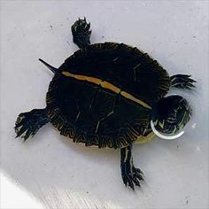 Aquatic turtles for sale online cheap, buy baby aquatic turtles, water turtle breeders near me live turtles for sale and baby freshwater turtle store. Baby Turtles For Sale, Baby Sea Turtles, Freshwater Turtles, Freshwater Aquarium, Baby Tortoise For Sale, Turtle Store, Slider Turtle, Aquatic Turtles