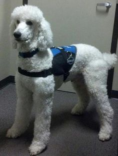 Meet JAX .... a beautiful standard poodle that is priceless to his handler