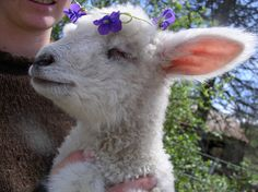 baby lamb with flowers Alpacas, Cute Baby Animals, Farm Animals, Spring Lambs, Baby Lamb, Sheep And Lamb, Baby Sheep, Sheep Farm, Baby Goats