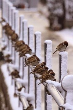 Birds on winter snow on fence Little Birds, Love Birds, Beautiful Birds, Animals Beautiful, Beautiful Pictures, I Love Winter, Winter Snow, Winter Picture, Hello Winter