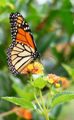 Gorgeous Winged Jewel!  Monarch Butterfly Resting On Lantana Flowers!