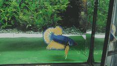 Siamese Fighting Fish, Betta Fish, Aquarium Fish, Around The Worlds, Pets, Animals, Animales, Animaux, Animal