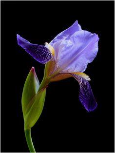 ✯ Iris by *impatienss*✯ Wallpaper Nature Flowers, Flowers Nature, Exotic Flowers, Tropical Flowers, Amazing Flowers, Beautiful Flowers, Iris Flowers, Purple Flowers, Virtual Flowers