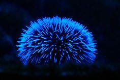 """Sea urchin,"" by gekimo, via Flickr -- Gorgeous blue bioluminescence from the Museum Oceanographique Monaco."