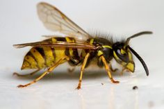 Wasp a terrifying pest in melbourne. #wasp #melbourne