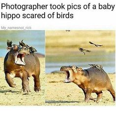 "baby hippo A Flock of 45 Memes About Birds That Might Make Things a Little Hawkward - Funny memes that ""GET IT"" and want you to too. Get the latest funniest memes and keep up what is going Funny Animal Quotes, Cute Funny Animals, Funny Animal Pictures, Cute Baby Animals, Funny Cute, Funny Pics, Funny Jokes, Funny Videos, Funniest Memes"