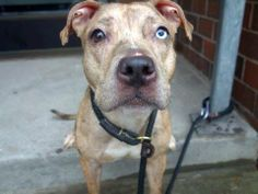 SAFE --- B A B Y - A L E R T - URGENT - Manhattan Center    JESSIE - A0989460   FEMALE, BR BRINDLE, PIT BULL MIX, 6 mos  STRAY - STRAY WAIT, NO HOLD  Reason STRAY   Intake condition NONE Intake Date 01/13/2014, From NY 10456, DueOut Date 01/16/2014,  Main thread: https://www.facebook.com/photo.php?fbid=741885032491045&set=a.617938651552351.1073741868.152876678058553&type=3&permPage=1