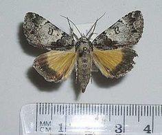 8721 – Allotria elonympha – False Underwing Moth – (Hübner, 1818)