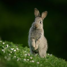 phototoartguy:  Young Rabbit by Robin Lowry on Flickr.