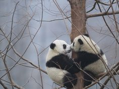 How cute its a panda kiss Panda Love, Cute Panda, Panda Panda, Animals And Pets, Baby Animals, Cute Animals, Beautiful Creatures, Animals Beautiful, Beautiful Things