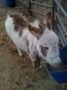 I think that I might need him.  mini painted donkey with a heavy winter coat. I shall call him Rudy.