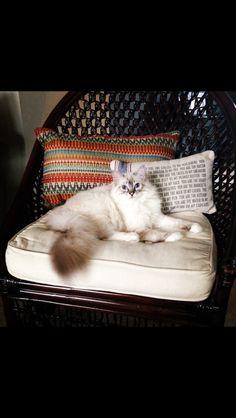 Seal mitted lynx ragdoll kitten <3