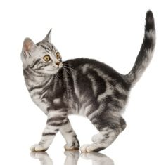 Shedding and Coat color in American Shorthair Cats.click the picture to read