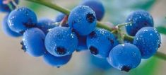 These 10 tips for growing blueberries will ensure that your garden is full of delicious and organic blueberries right at your fingertips!