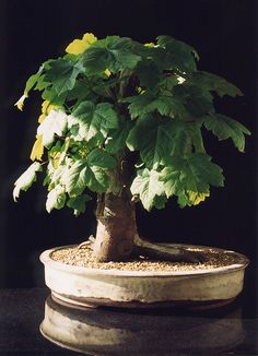 Sycamore Maple Bonsai Tree (Acer pseudoplatanus) by Steve Greaves, via Flickr